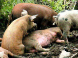 Cresterea naturala a porcilor din rase locale